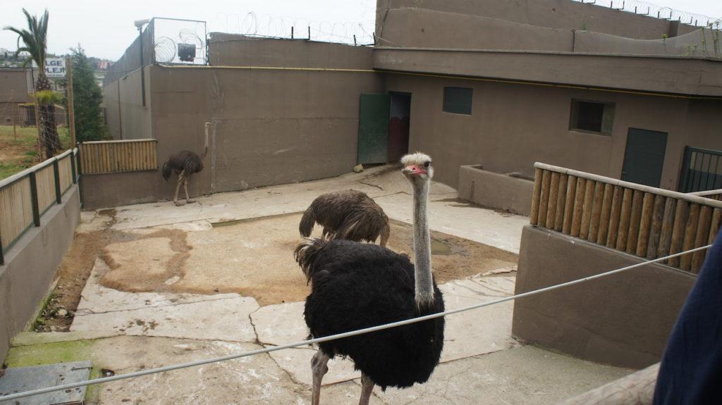 Afrika Deve Kuşu